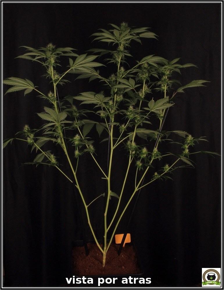 11- Floración: 5 semanas y 2 días. Ensayo con luz residual y riego 4