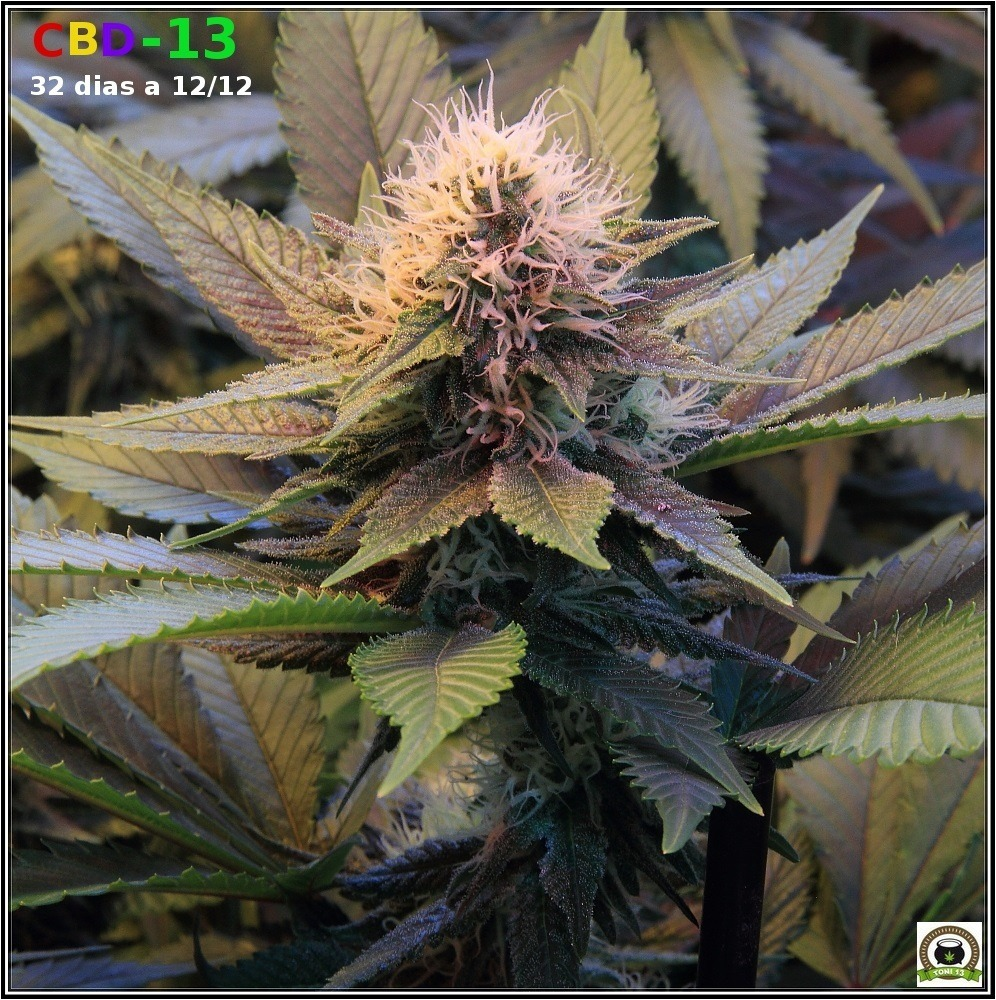 variedad marihuana CBD-13