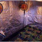 1- Inauguración seguimiento de marihuana Matanuska and Cheese