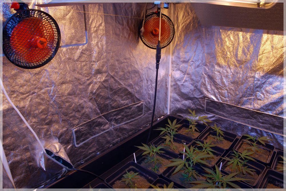 Prevención en cultivo marihuana-2