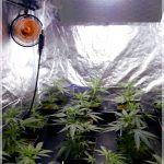 2- Matanuska and Cheese: Comienza la floración en el cultivo de marihuana
