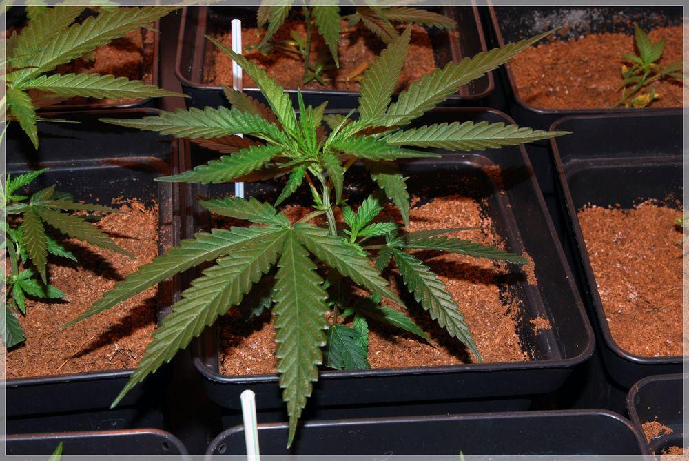Seguimiento marihuana Matanuska and Cheese plantas detalle 6