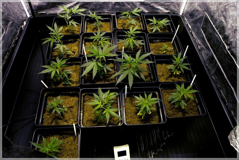 Seguimiento marihuana Matanuska and Cheese plantas 5