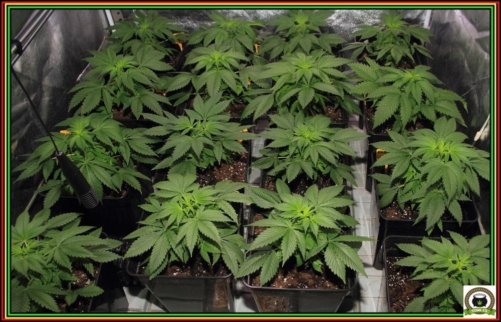 Macetas cuadradas negras en cultivo de interior de marihuana