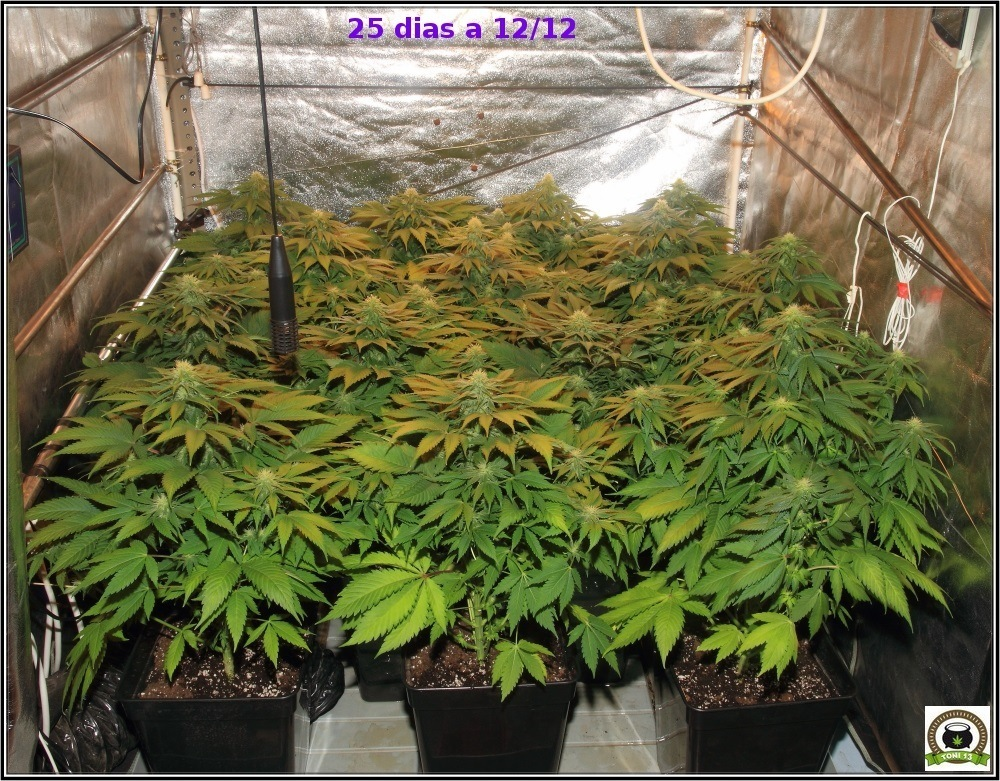 24 floraci n d as 24 a 31 cultivo de marihuana maestro banzai for Interior 600w seguimiento