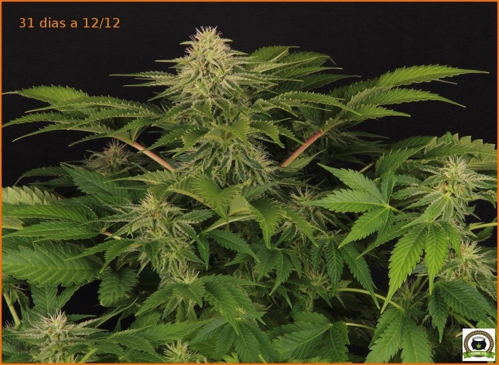 cultivotoni131132