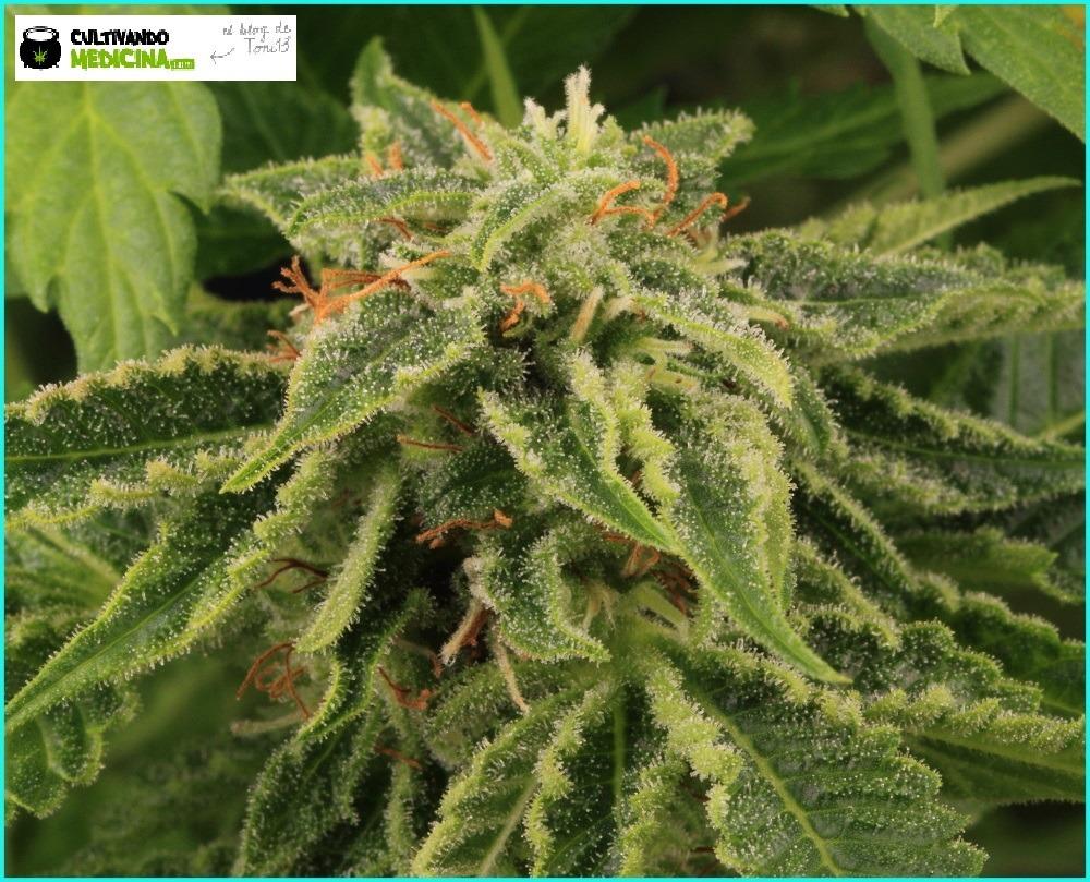 Seguimiento maestro marihuana de Toni13