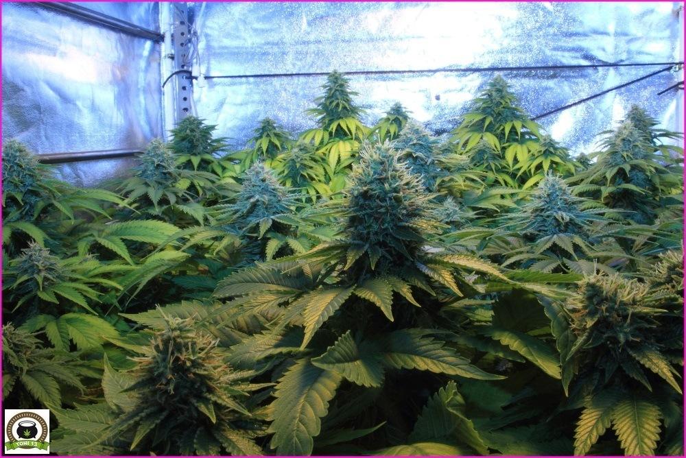 plantas de marihuana con un plan de nutricion adecuado-2