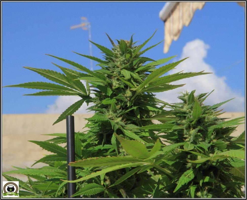 Cómo cultivar marihuana en exterior: Lugares y situaciones. Cultivo de marihuana en balcón.