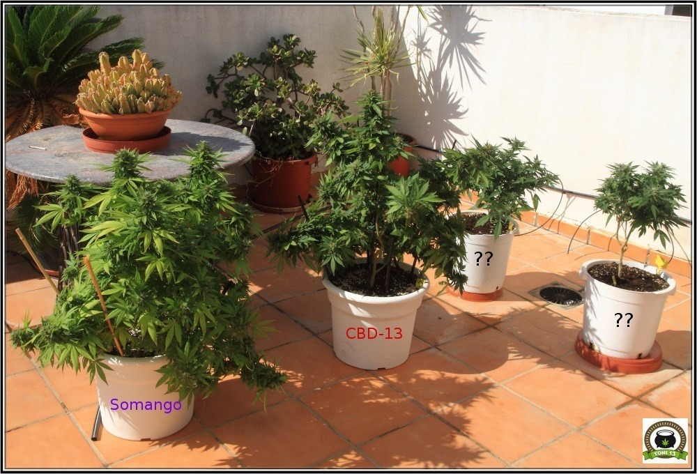 Maceta con marihuana redondas en cultivo de exterior