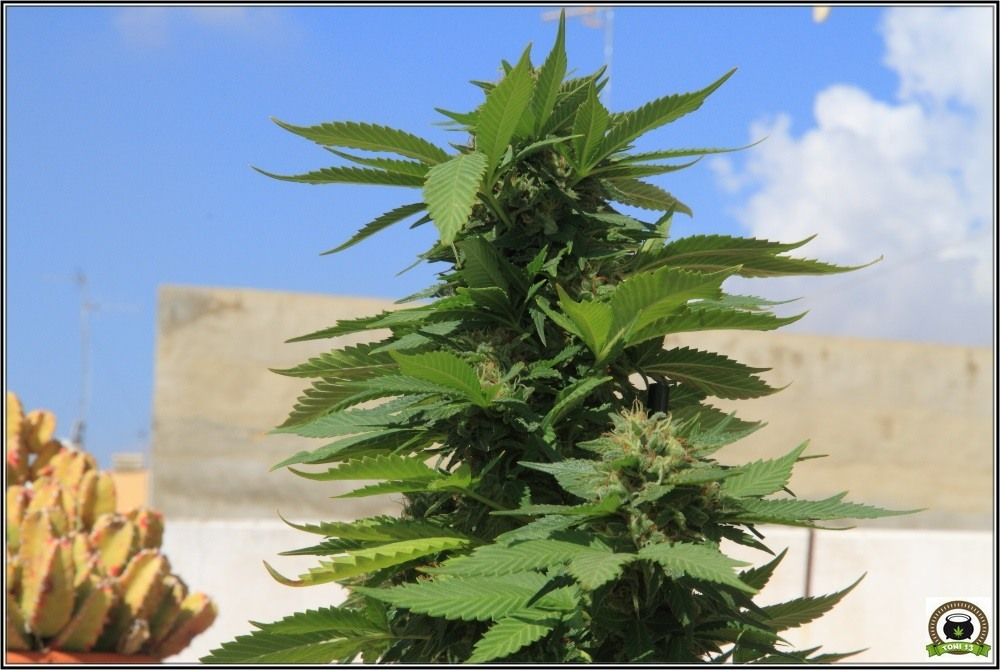 2- seguimiento-marihuana-bafy-de-exterior-CBD-13-7