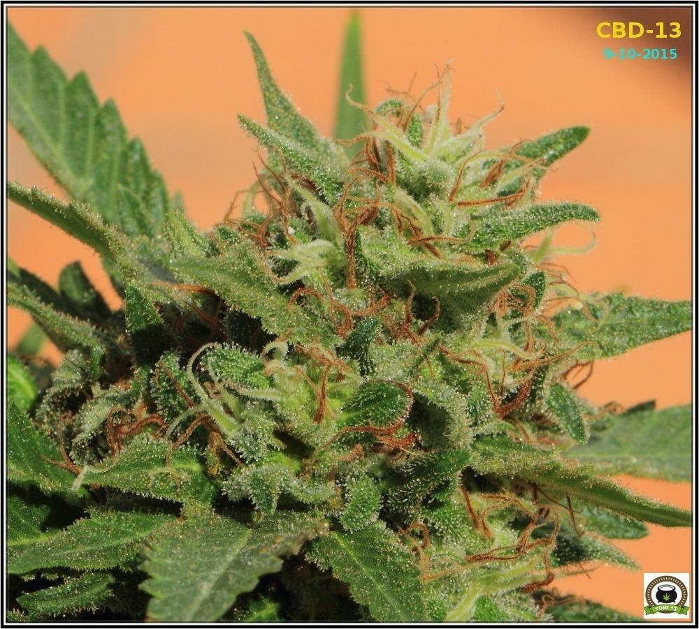 2- seguimiento-marihuana-bafy-de-exterior-CBD-13-9
