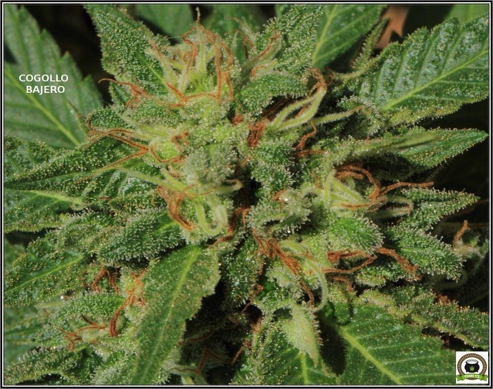 2- seguimiento-marihuana-bafy-de-exterior-CBD-13-10