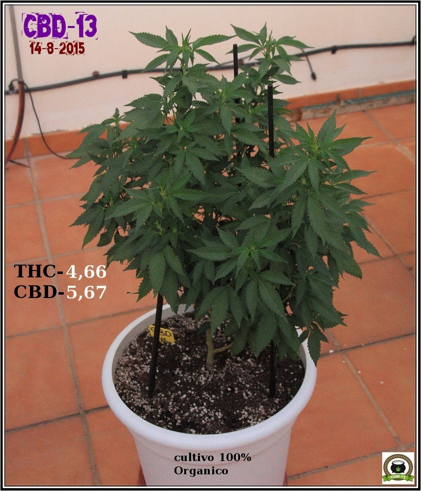 Variedad de marihuana CBD 13 en exterior