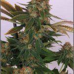 15- Cultivo de marihuana Cóctel de índicas llega a su fin