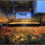 12- Floración: 44 y 45 días a 12/12 en el cultivo de marihuana
