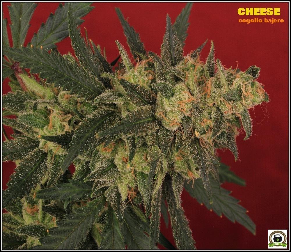 Cheese Seleccion UK cogollo 1