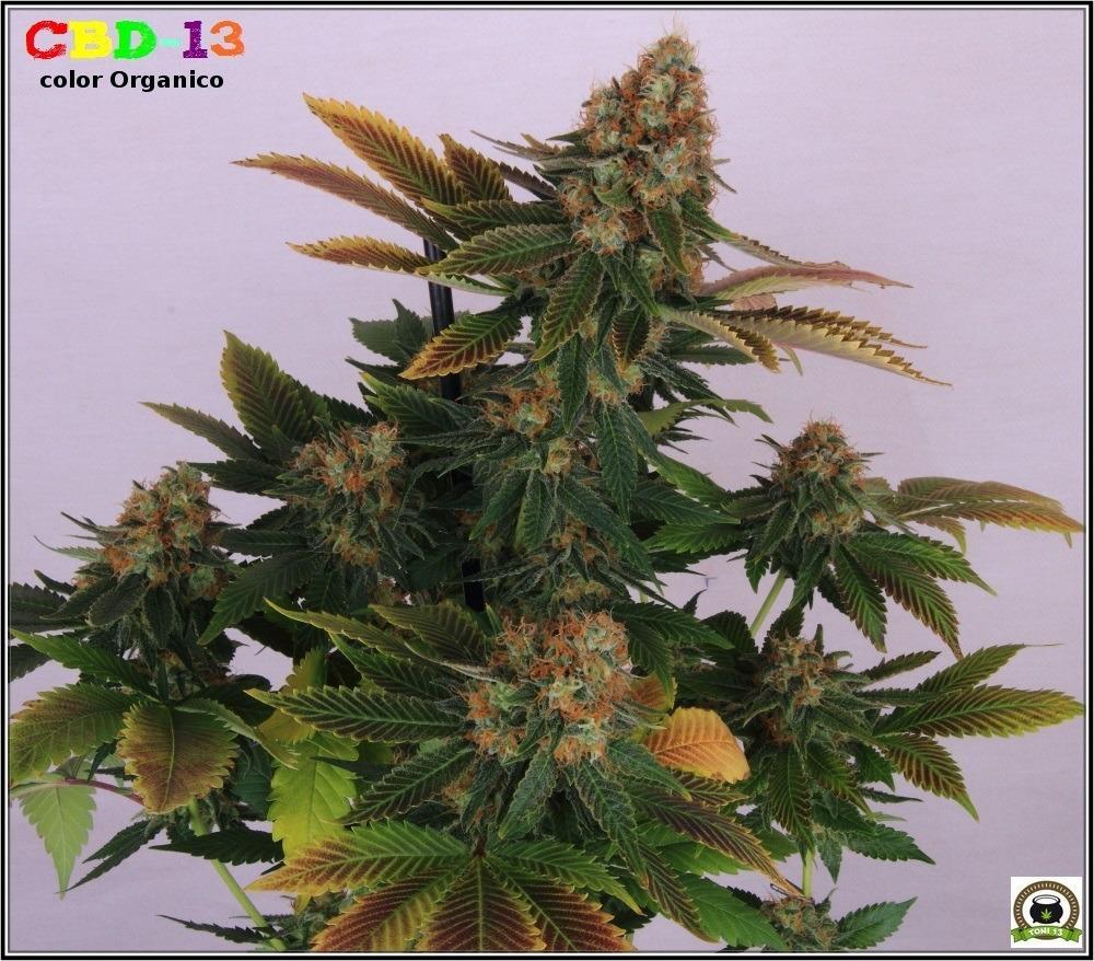 CBD-13 marihuana cogollos 1