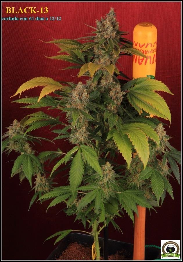 Variedad de marihuana Black-13