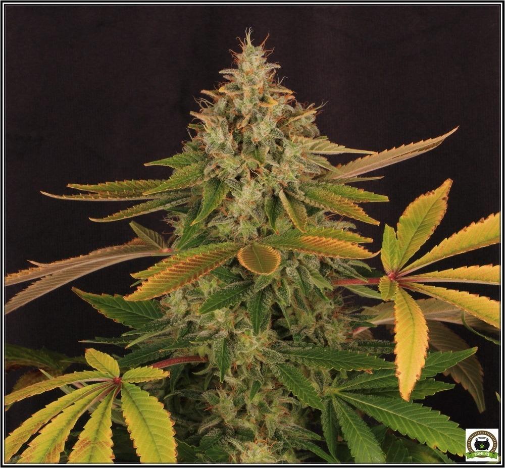 La marihuana es algo mas que THC y CBD