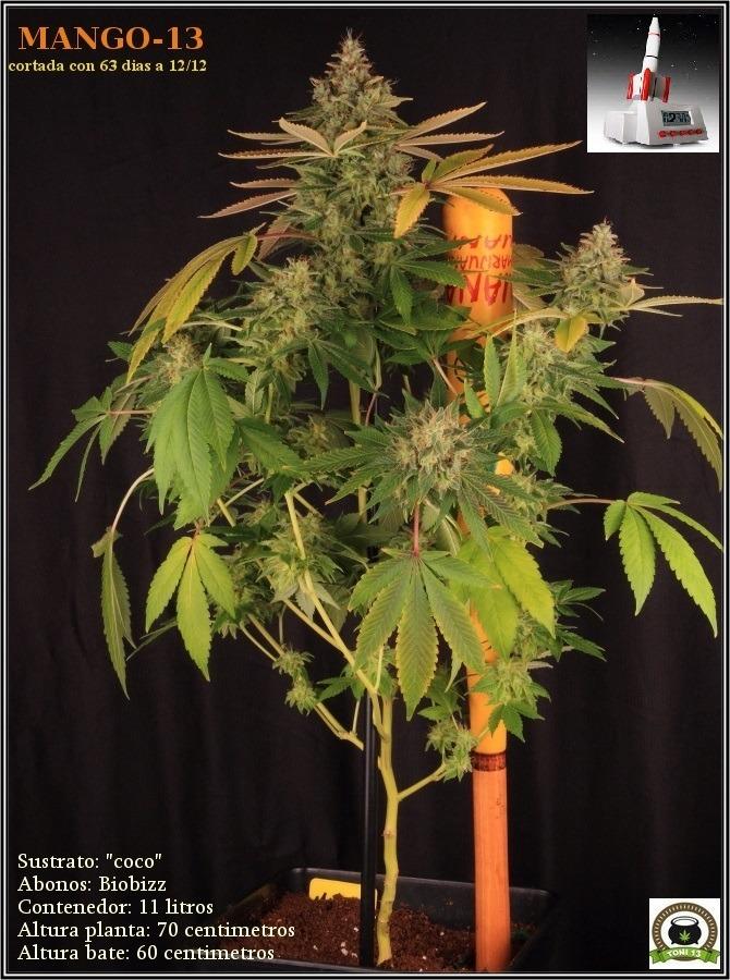 variedad-marihuana-mango-13