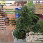 Seguimiento exprés Toni13 y próximo cultivo automáticas