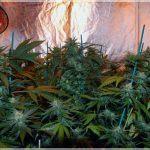 3- Aquí huele a afrodisíaco, el cultivo de marihuana Cheese Matanuska ya tira