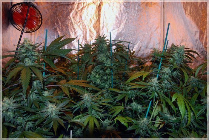 seguimiento de marihuana rubio owned 1