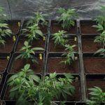 Triple ensayo – Estrés lumínico en plantas de marihuana