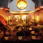 3- Día 13 y cambio drástico de tamaño de las plantas de marihuana