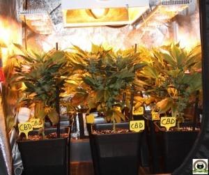 7- Día 50 afilando la guadaña para las plantas de marihuana 2
