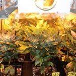 7- Día 50 afilando la guadaña. Cosecha de las plantas de marihuana
