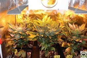 7- Día 50 afilando la guadaña para las plantas de marihuana 1