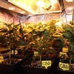 4- Día 21 de floración, las plantas de marihuana pegan el estirón