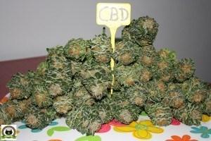 cosechado y corte de variedad CBD13