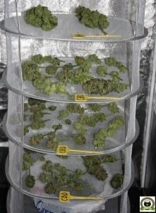 armario de secado de marihuana en seguimiento