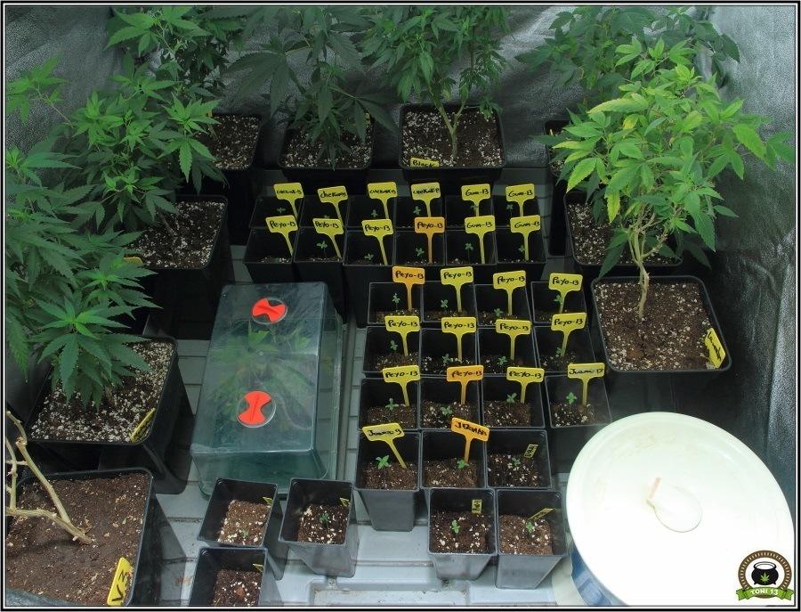 Propagador en invernadero de cultivo de marihuana 2