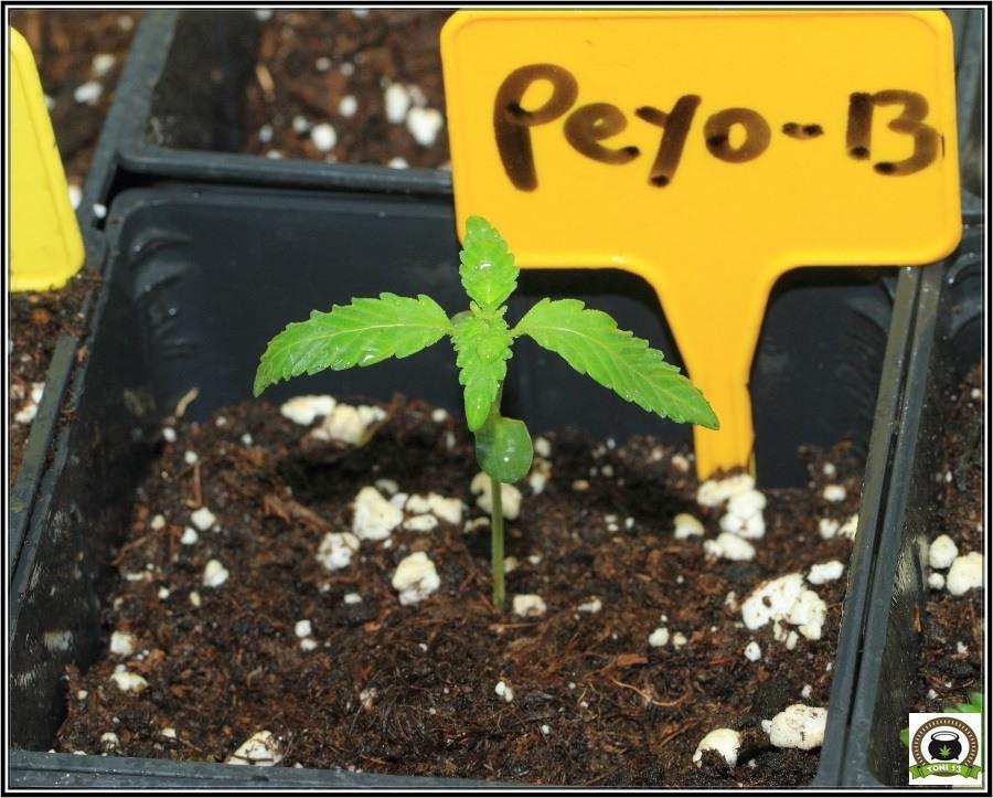 3-Crecimiento vegetativo: Días 10 a 17 desde germinacion-5