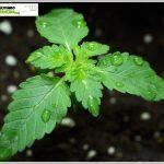 7- Crecimiento vegetativo, comienza a crecer