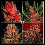Fenotipo en plantas de marihuana – Genotipo+Entorno