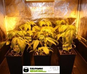 cultivo de marihuana pequeño Sodio LED 1