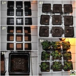 cultivo de marihuana pequeño Sodio LED 3 transplante de plantas