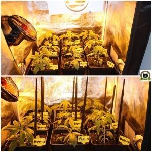 cultivo de marihuana pequeño Sodio LED 4