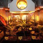 Sorprendidos con 400 plantas de marihuana en una finca agrícola de Motril.