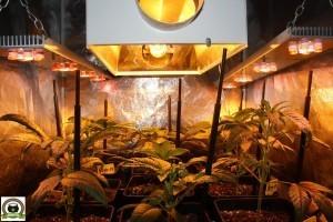 Poda bajera y abonando del cultivo de interior de marihuana en armario pequeño 1