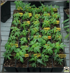 Cultivo de marihuana sano sin mosca del mantillo