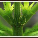 14- Primeras preflores, se acerca el cambio de ciclo