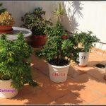 3- Seguimiento exterior: Antes y después. Cosecha y secado del cultivo de terraza