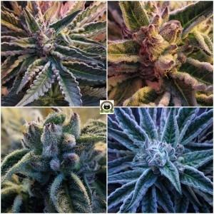 tricomas de plantas de marihuana en cultivo de interior 2