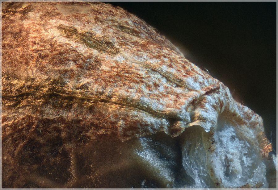 Detalle macrofotografía cannábica de semilla de marihuana